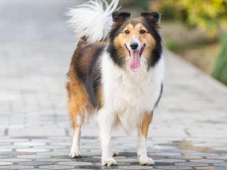 Chien, Shetland sheepdog, collie. Banque d'images - 76070031