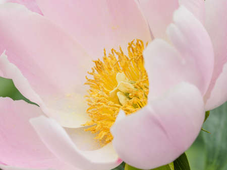Summer flowers series, beautiful pink peony flowers in garden. Banque d'images