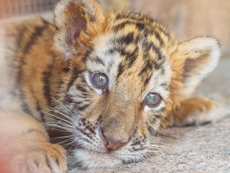Portrait of manchurian tiger cub
