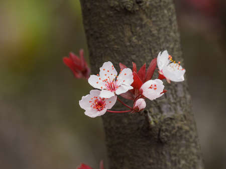 prunus cerasifera: Spring flowers series: Prunus cerasifera or common names cherry plum and myrobalan plum branch with flowers and leaves. Stock Photo