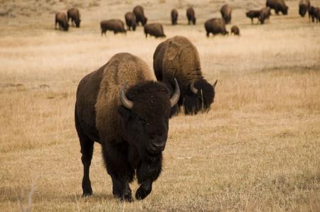 buffalo grass: Group of Buffalo eating the grass