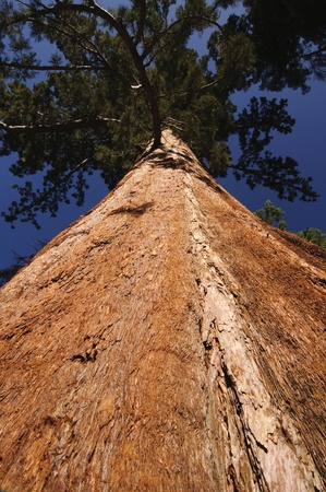 Sequoia en California photo