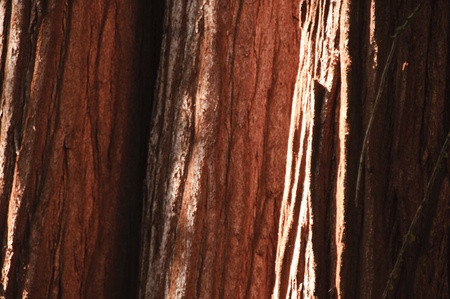 Sequoia bark in California photo