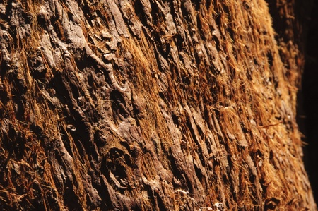 Closeup of sequoia bark in California photo