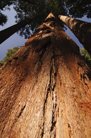 Giant sequoia in National Park photo
