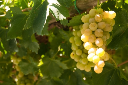 Bunch of white grapes in vineyard photo
