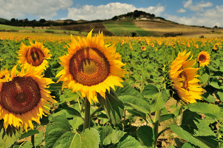 Yellow sunflowers on the field in Tuscany, Italy photo