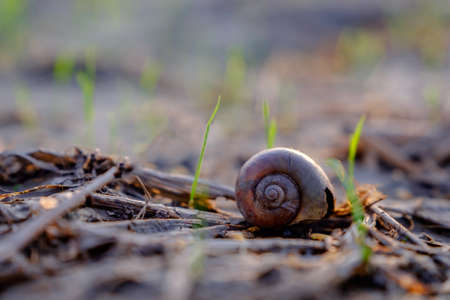 Nautilus shell on the ground in a rice field Stock Photo