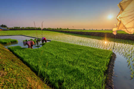 Rice is the major food in Thailand.Farmerre people that work very hard to get rice to Thai people .Everyday they endure from the sun, hot weather and anything else thats made them false. Stock Photo