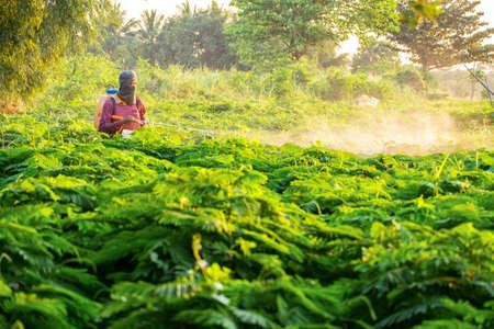 Insecticide injection in vegetable garden (Senegalia pennata)