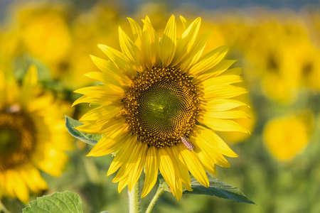 Close up Sunflower in the garden, Focus on sunflower background