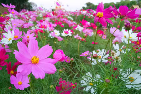 Natural Flowers scene of blooming of pink Sulfur Cosmos with blurred green background
