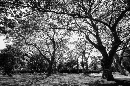 black and white of  big old tree,nature photo