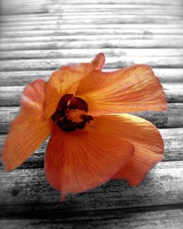 fiori di ibisco: Hibiscus fiori Archivio Fotografico