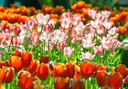 Tulipanes fresca en el jard�n con luz natural Foto de archivo
