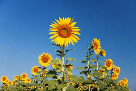 Sunflower over blue sky Stock Photo - 12064721