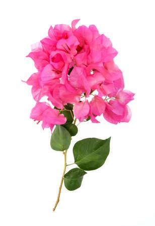 bougainvillea flowers: Bougainvillea hybrida, Pink Paper flower