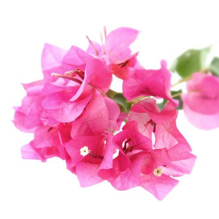 Cerca de la Bougainvillea hybrida, flor rosa de papel