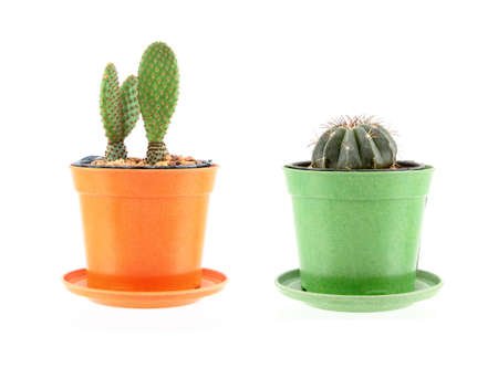 Cactuses in the pot on white background Stock Photo