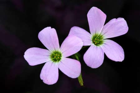 Closeup shot of violet flower, over black background Stock Photo