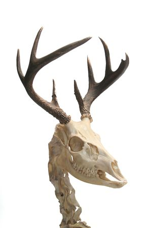 Skeleton of a white-tailed deer.