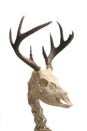 Squelette d'un cerf de Virginie.