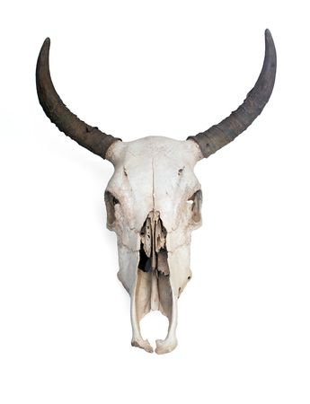 dry cow: Skull of a cow with medium sized horns.