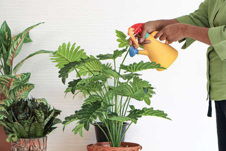 Senior Asian women Keep the plant growing inside her houseplants at home using a spray bottle with clean water.The concept of retiring life Smile with happiness, relaxation.