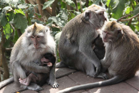 peacefull: Group of peacefull mother monkeys and baby monkey in hands of mother, Bali