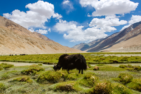 ladakh: yak in ladakh