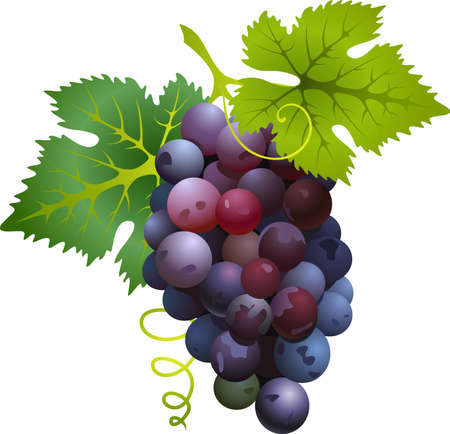 fruitful: Vector illustration of realistic sweet Black grapes Illustration