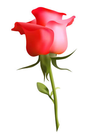 Beautiful red rose on a white background  Illustration