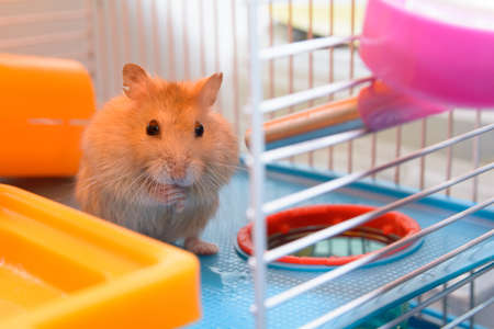 russian hamster: Hamster re going to drink . Within their own homes Stock Photo