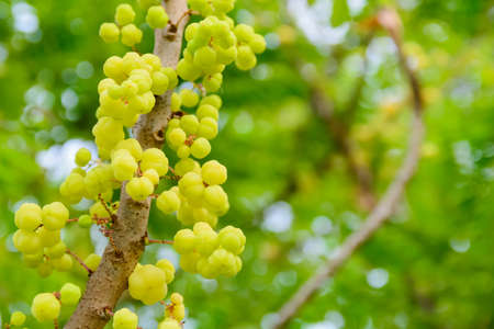hundreds and thousands: Shows a gooseberry fruit trees