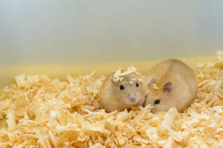 fussy: Hamster two brothers are playing together, having fun Stock Photo
