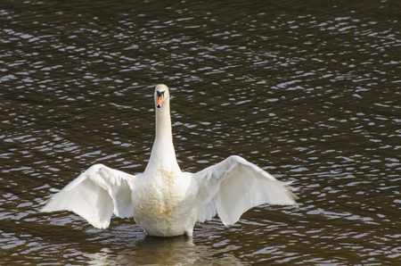 Mute swan stretching its wings on the River Bann Coleraine