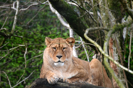 Barbary Lioness Stock Photo