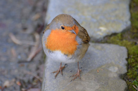 Robin sitting on a kerbstone
