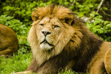 Image d'un lion de Barbarie mâle (éteint dans la nature).