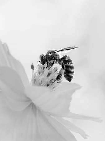 This black and white photograph shows a pollen covered bee on a white flower. With many of the plants flowers past their prime, the bee matches the color of the dead flowers in the background.A color version of Bee On Flower is also available.Bee On Flower In Black and White was photographed by Chrystal Mimbs.
