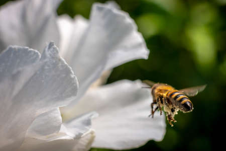 Close up of wild bee in mid-air next to a white flower. Summer garden shot.