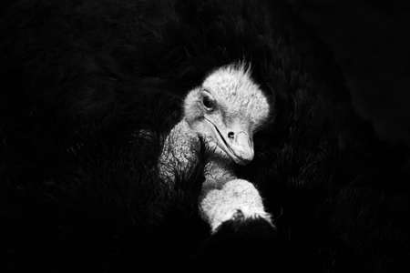 Close up of the head and neck of an emu. Big ostrich bird is a stupid bird but runs very fast Stock Photo