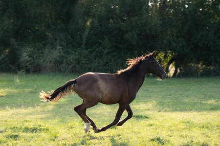 Brown horse running gallop in wheat field. The bay horse gallops wildly across the vast expanses steppe
