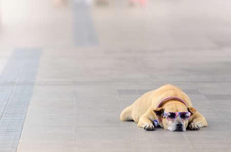 Dog with sunglasses on  street photo