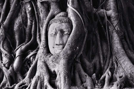 The head of buddha with tree Roots photo