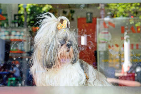 pampered pets: Dog looking out glass door Asian dog Stock Photo