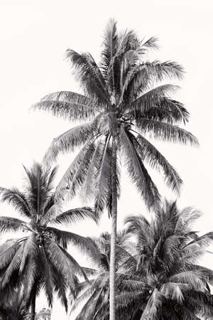 Coconut palm trees against a  sky  Coconut palm trees Stock Photo
