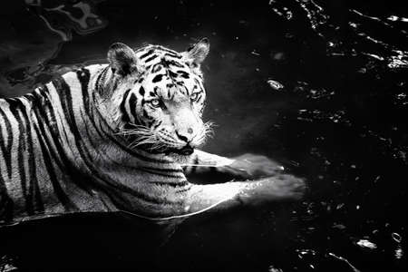 white tigers: Beautiful Black and White Tigers