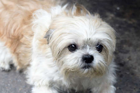Closeup of Shih-Tzu dog sit on the ground