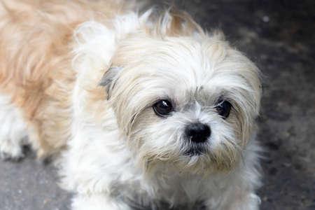 shihtzu: Closeup of Shih-Tzu dog sit on the ground